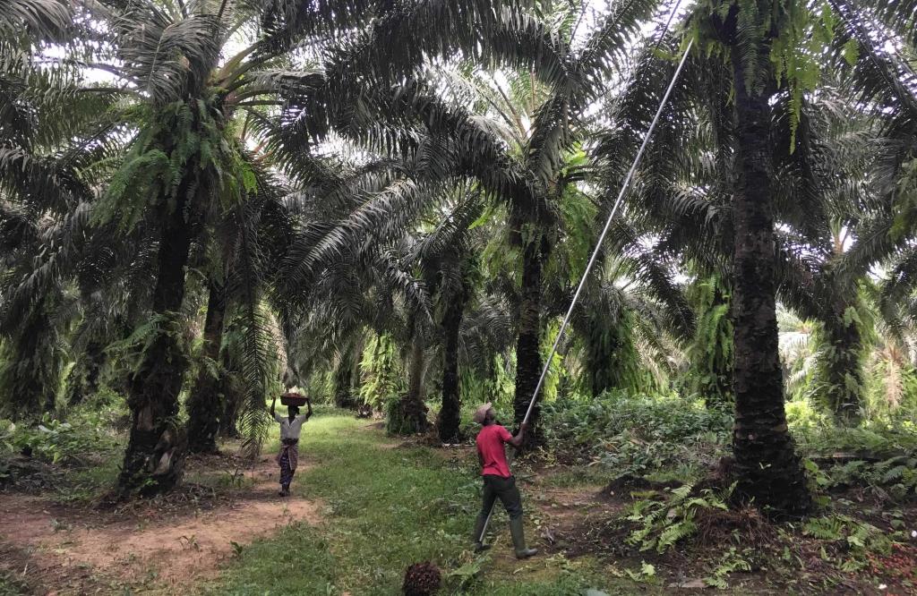 La centrale ivoirienne Biovéa Énergie sera alimentée grâce aux résidus agricoles issus de l'exploitation des plantations de palmier à huile locales. © Meridiam