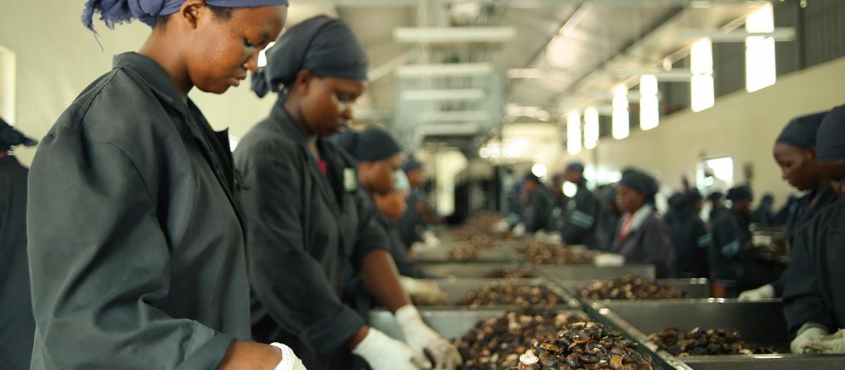 Kenya Nut Company s'approvisionne auprès de plus de 30000petits producteurs de noix, et a su non seulement intégrer la filière en aval, mais aussi se diversifier. -© Kenya Nut Company