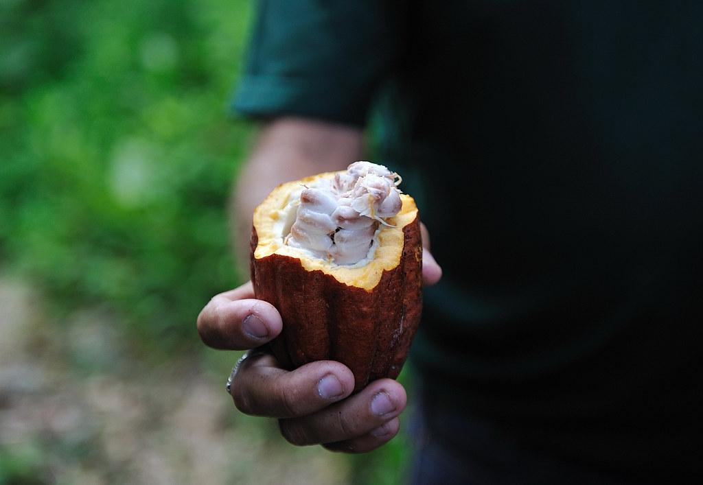 Fève de cacao dans sa cabosse et entourée de pulpe blanche, le mucilage.